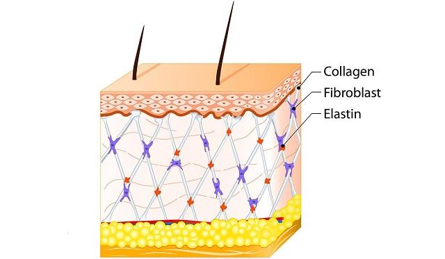 Collagen có tác dụng gì ?